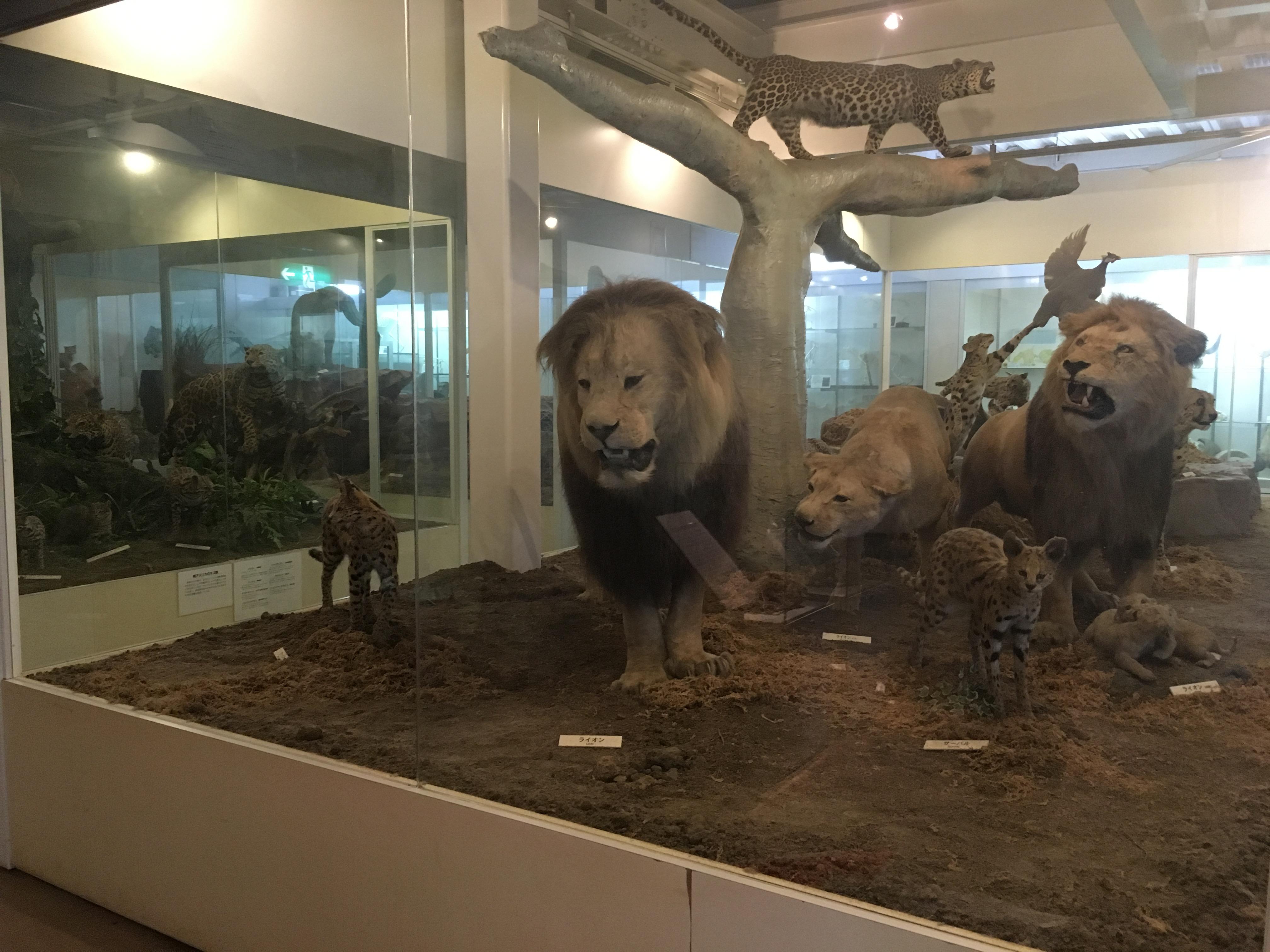 静岡の穴場ねこの博物館1階のライオンたち