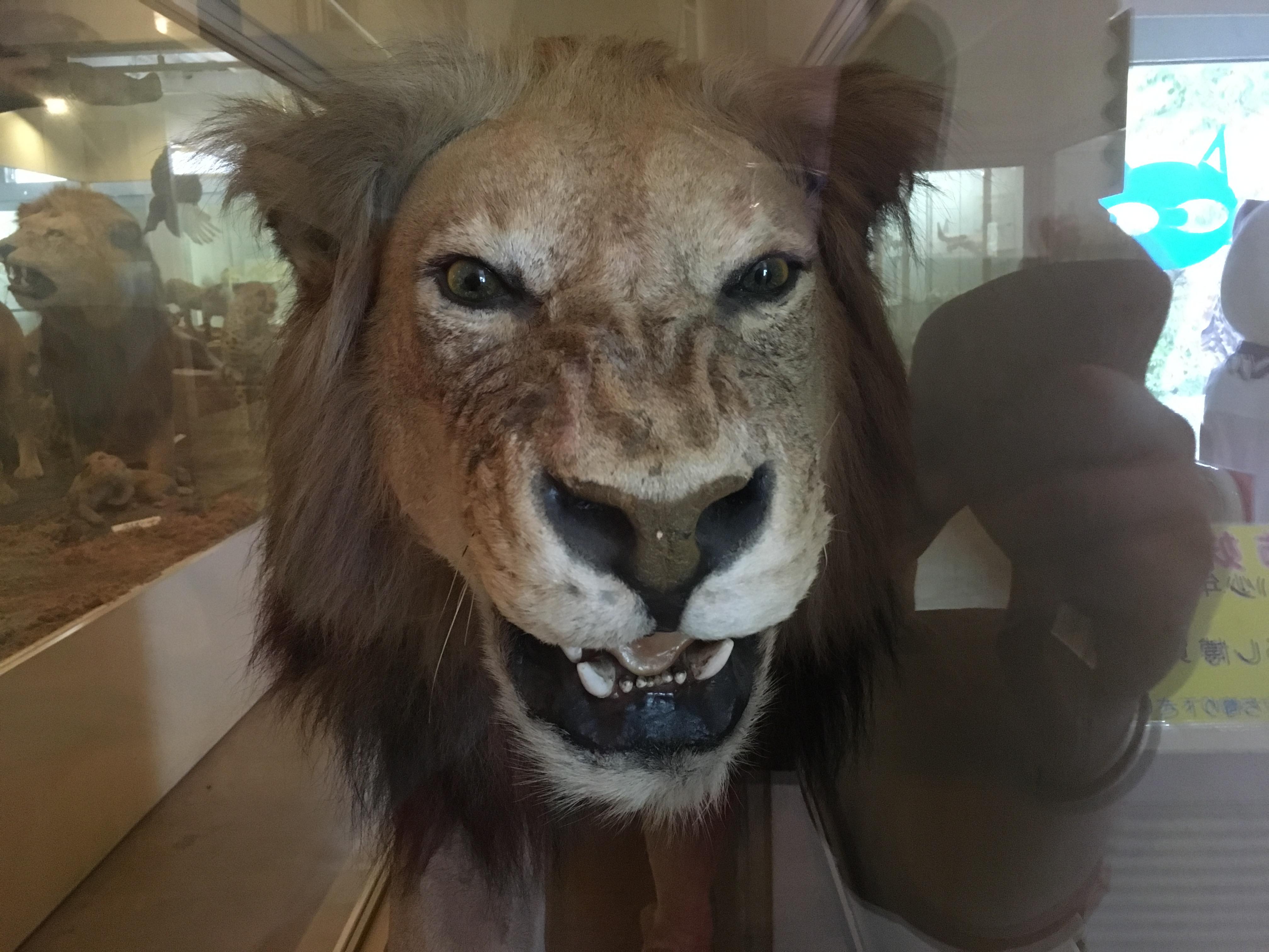 静岡の穴場ねこの博物館1階の50センチ距離のライオン