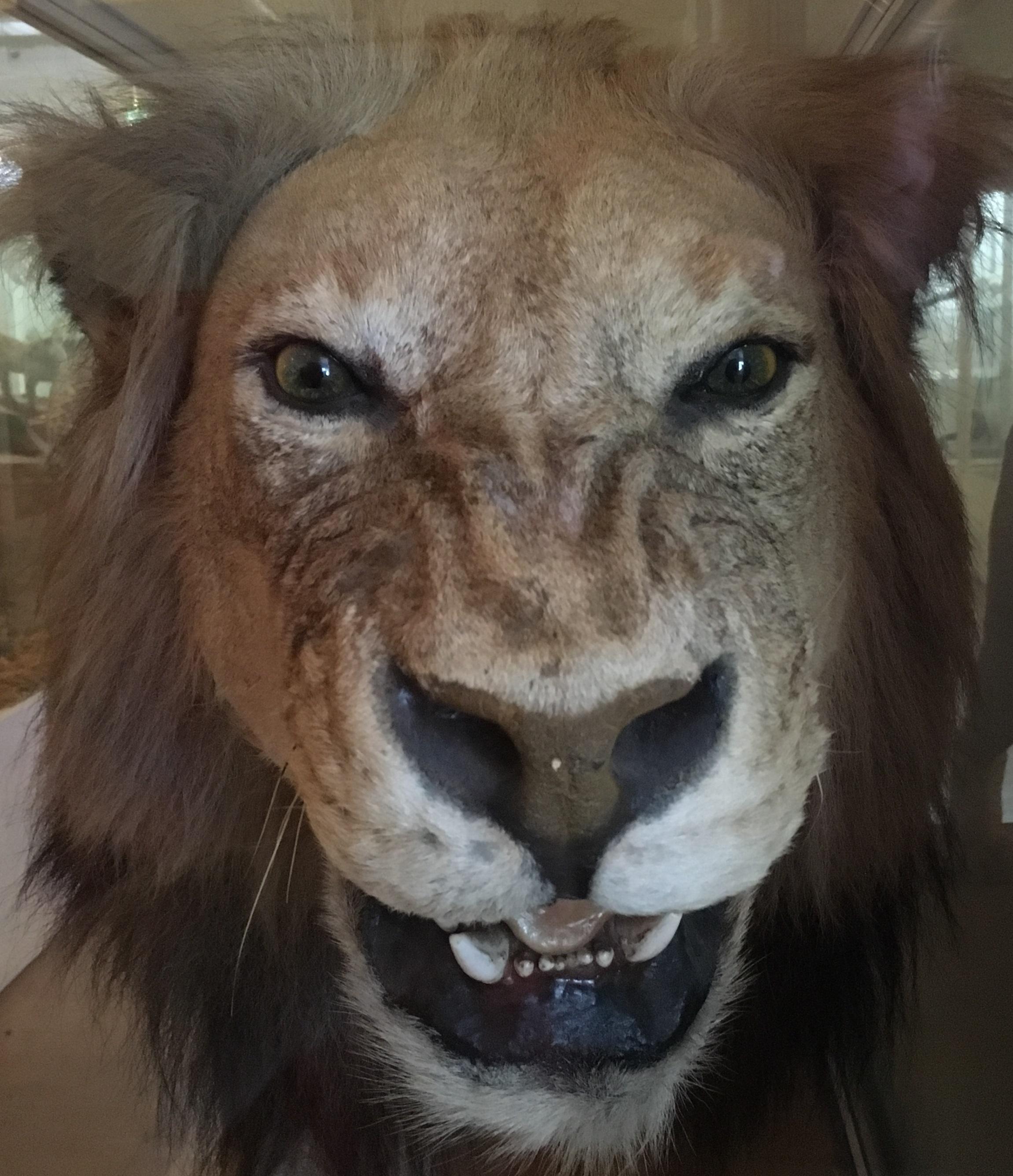静岡の穴場猫の博物館1階のライオン