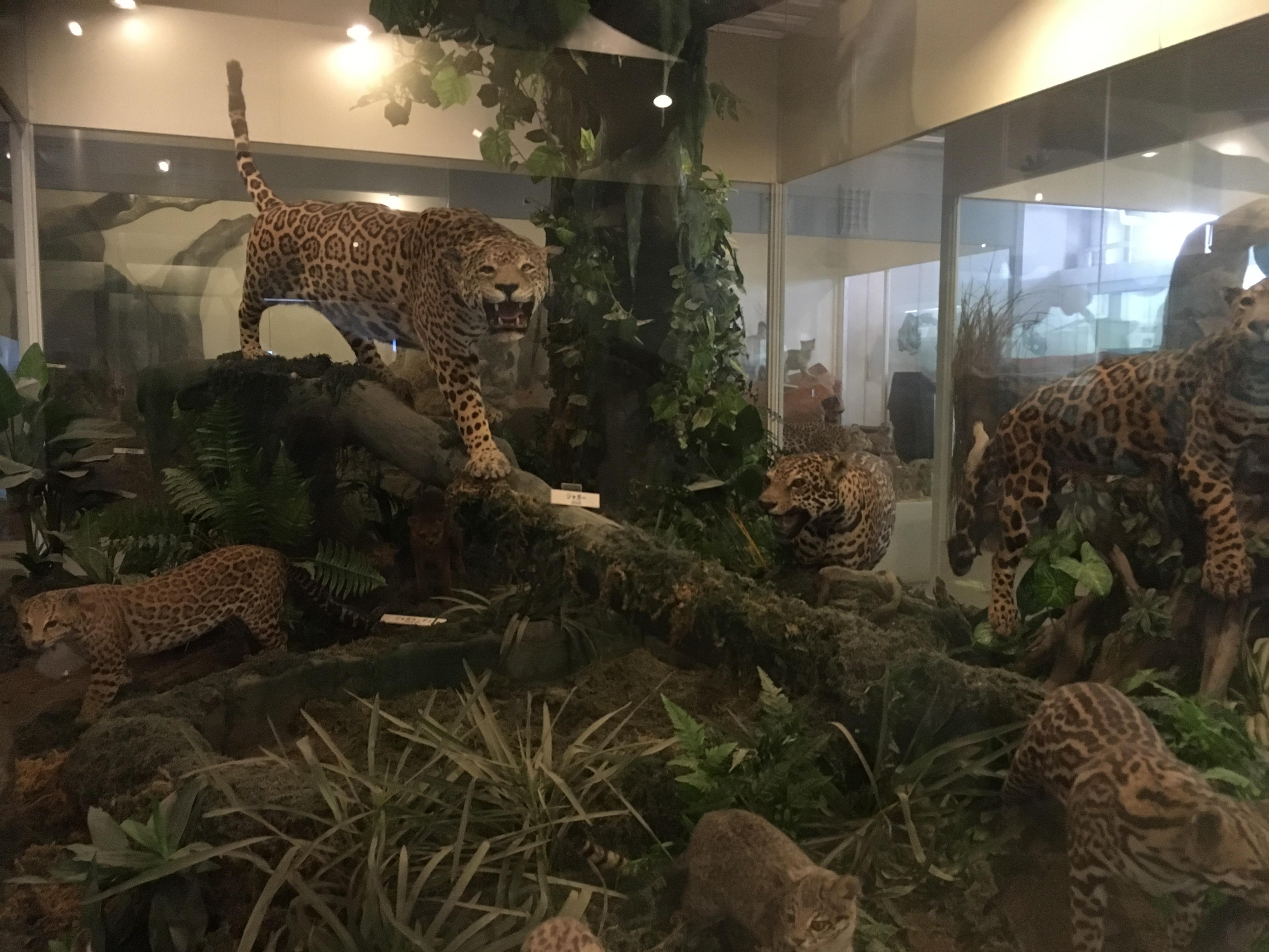 静岡の穴場ねこの博物館1階のネコ科たち