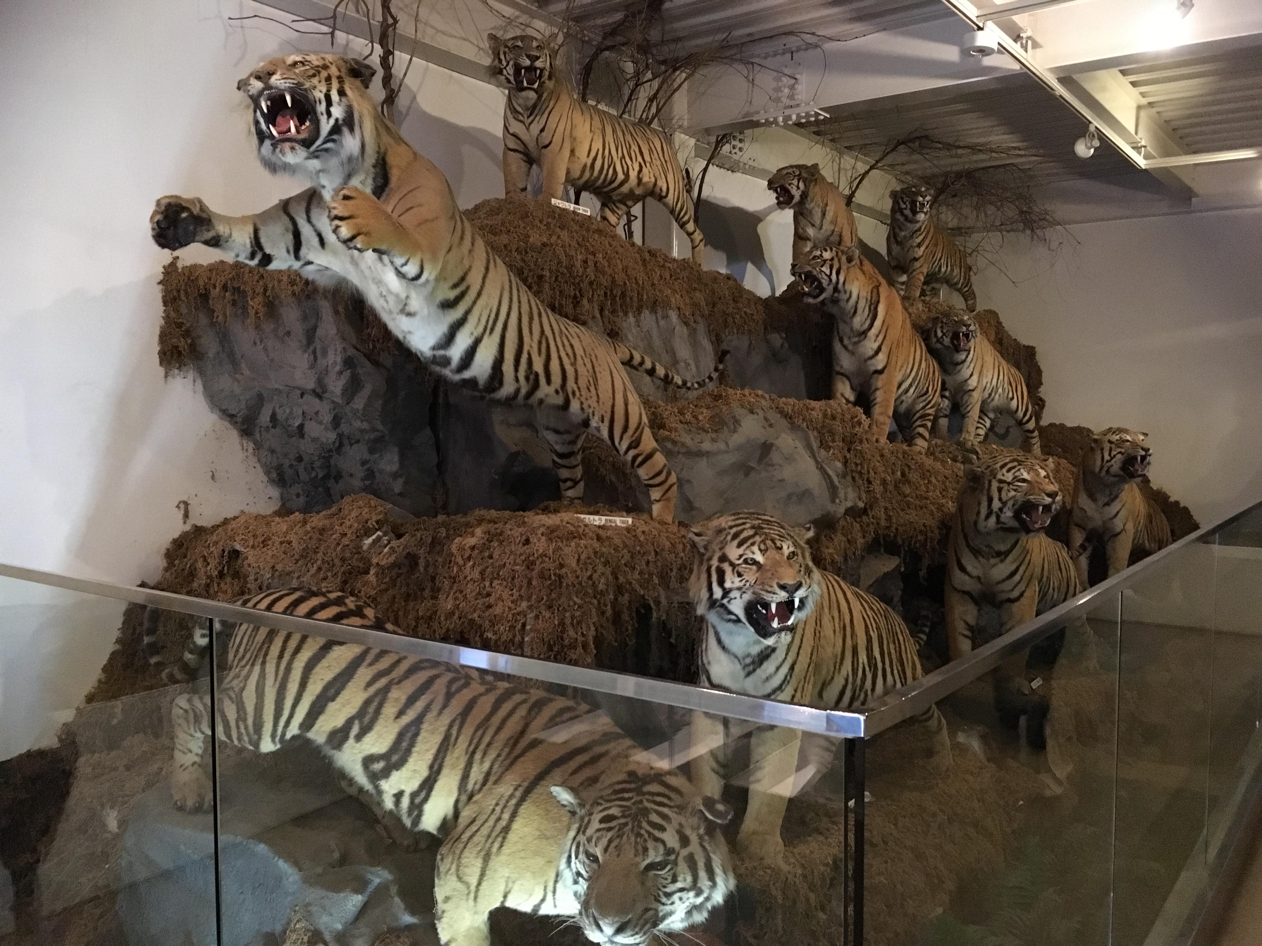 静岡の穴場ねこの博物館1階の虎たち