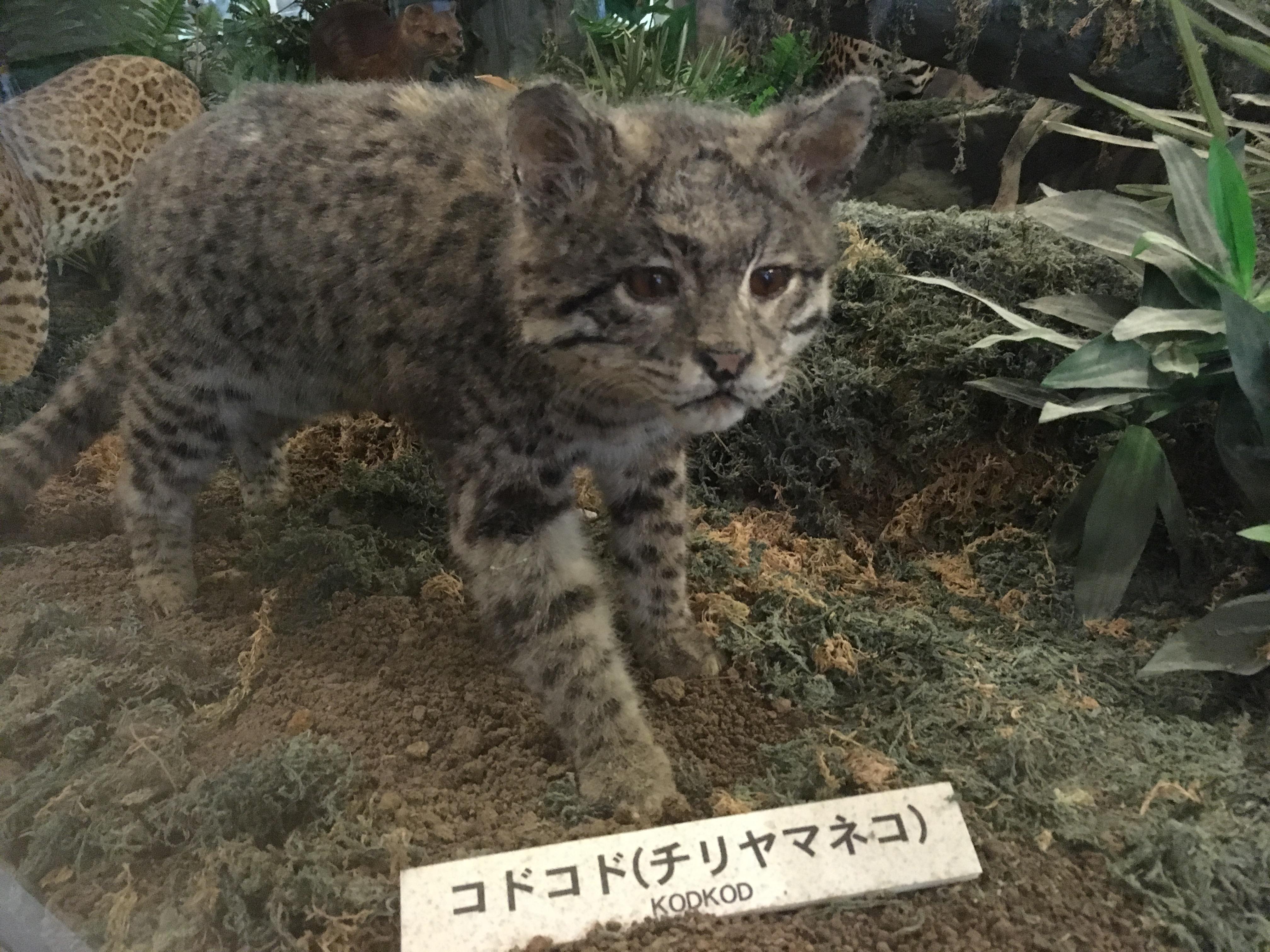 静岡の穴場ねこの博物館1階のネコ科たちかわいいやつ