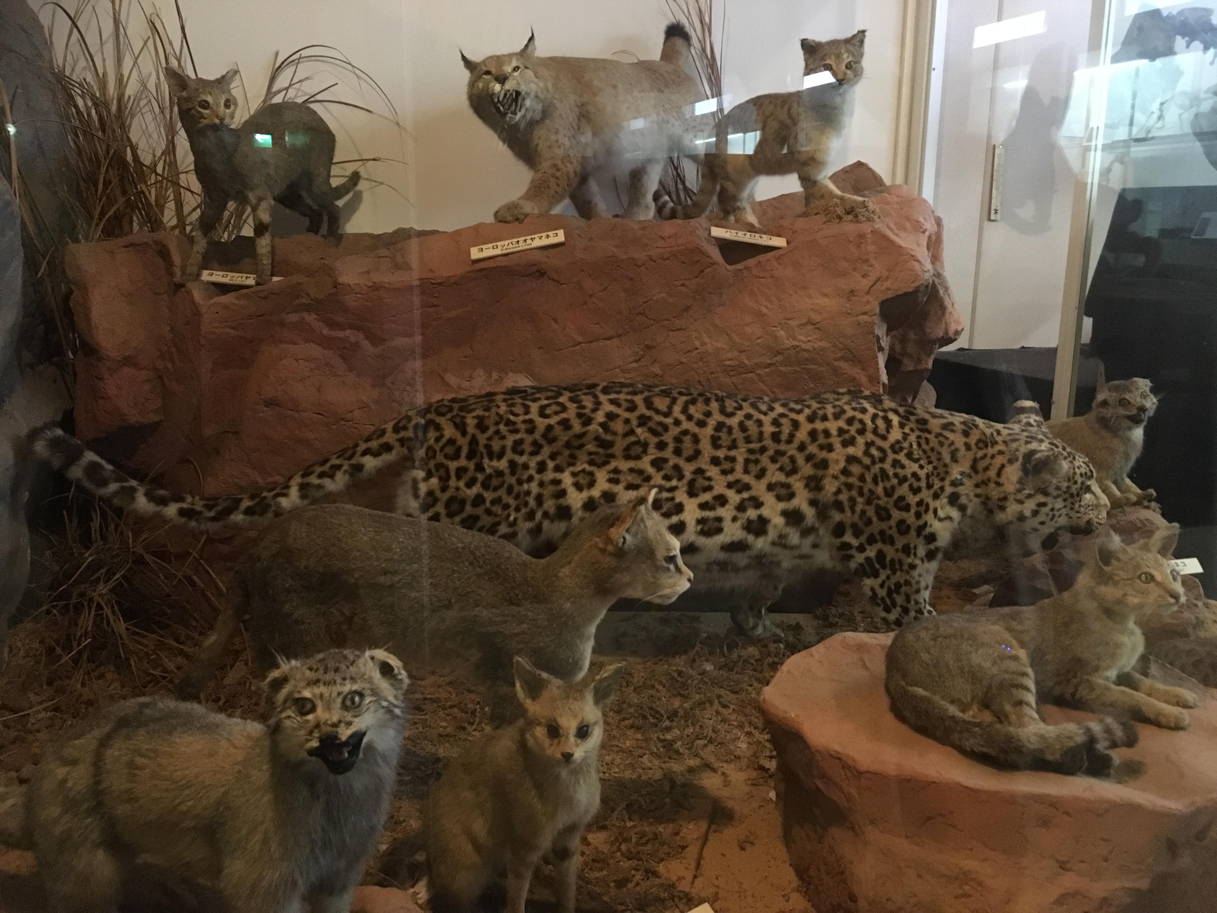 静岡の穴場ねこの博物館1階の世界中のネコ科たち
