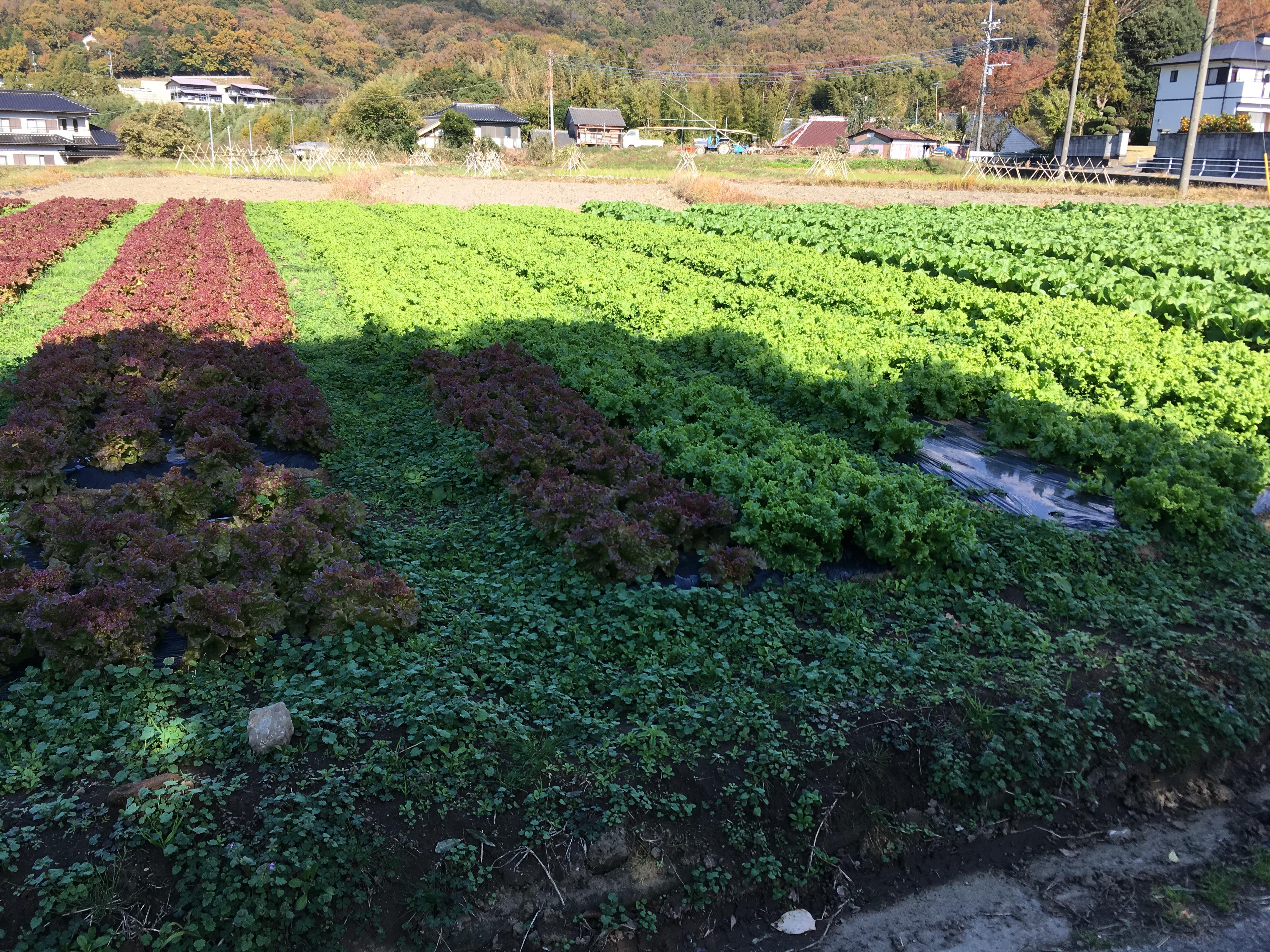 宝篋山 レタス畑