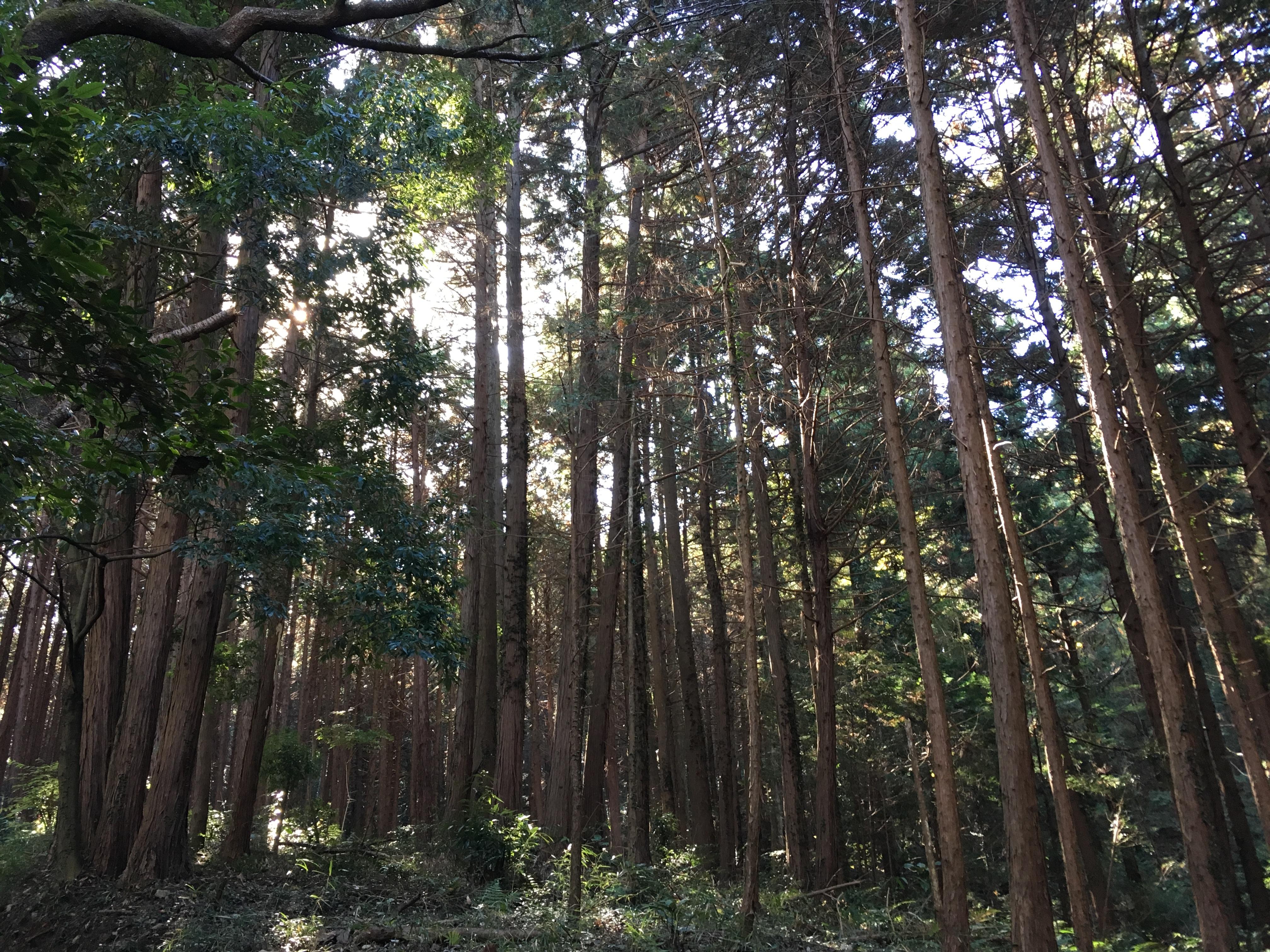 ダイエット登山 宝篋山の杉の木